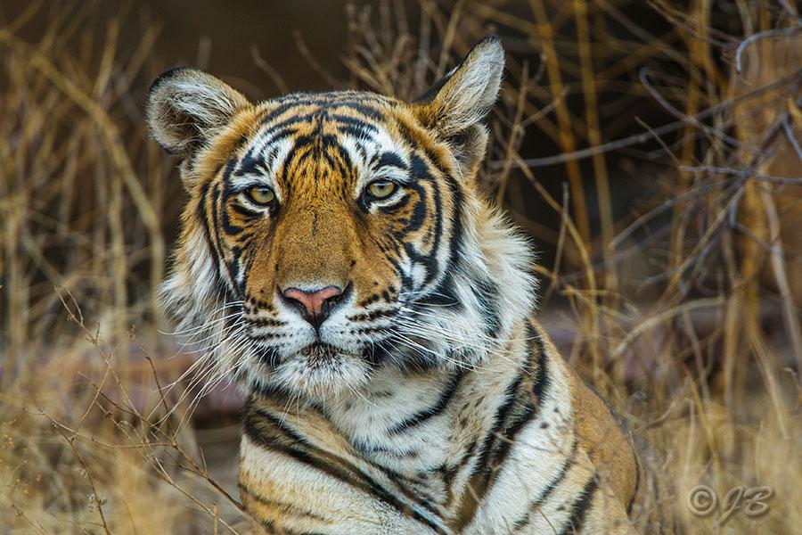 Königstiger (Panthera tigris tigris), Tigerin Mutschili