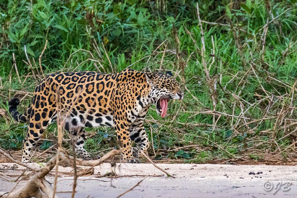 Wilder Jaguar im Pantanal (Panthera onca,