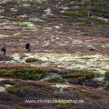 Naturfotografen und Moschusochse (Ovibos moschatus)