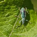 Grünrüssler ( Phyllobius sp)