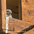 Turmfalke (Falco tinnunculus) Jungvogel schaut aus Nistkasten