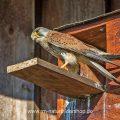 Turmfalke (Falco tinnunculus) Männchen am Nistkasten