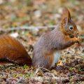 Eichhörnchen (Sciurus vulgaris) verspeist Bucheckern