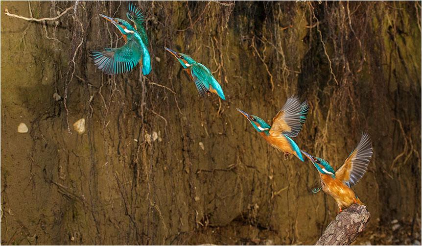 Eisvogelserie