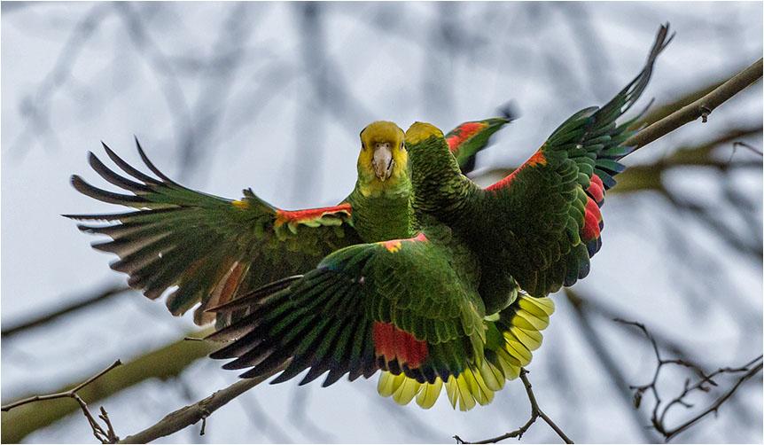Papageienstreit