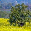 Baum im Rapsfeld, Albvorland, Bissingen an der Teck