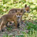 Rotfüchse (Vulpes vulpes) Junge am Bau