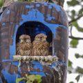 Turmfalke (Falco tinnunculus) Jungvögel in Nistkasten aus Kunststoff