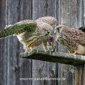 Turmfalke (Falco tinnunculus) flügge Jungvögel mit Beute