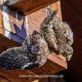 Turmfalke (Falco tinnunculus) Jungvogel stürzt ab