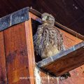 Turmfalke (Falco tinnunculus) Jungvogel an Nistkasten