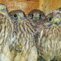 Turmfalke (Falco tinnunculus) Jungvögel in Nistkasten