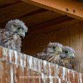 Turmfalke (Falco tinnunculus) Jungvögel schauen aus Nistkasten