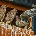 Turmfalke (Falco tinnunculus) Jungvogel übt die Schwingen