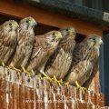 Turmfalke (Falco tinnunculus) Jungvögel kurz vor dem Ausfliegen
