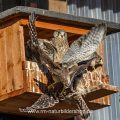 Turmfalke (Falco tinnunculus) manchmal wird es eng vor dem Kasten