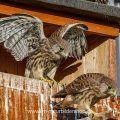 Turmfalke (Falco tinnunculus) Jungvögel am Nistkasten