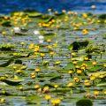 Teichrosen (Nuphar lutea) im Donaudelta