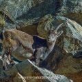 Steingeiß, Gran Paradiso Nationalpark