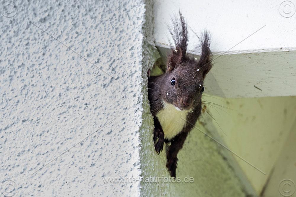 Eichhörnchen (Sciurus vulgaris) in der Isolation eines Hauses