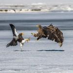 Riesenseeadler (Haliaeetus pelagicus) und Seeadler (Haliaeetus albicilla)