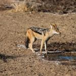 Schabrakenschakal (Canis mesomelas)