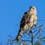 Steppenfalke juvenil (Falco rupicoloides)