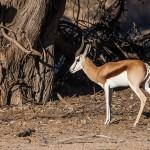 Springbock (Antidorcas)
