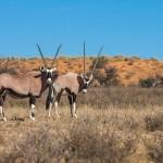 Spießböcke (Oryx gazella)