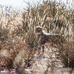 Gepard, (Acinonyx jubatus)