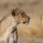 Kalahari-Löwe (Panthera leo vernayi)