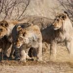 Kalahari-Löwen (Panthera leo vernayi)