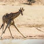 Thomicroft-Giraffenkuh (Giraffa camelopardalis)