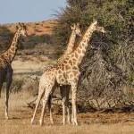 Thomicroft-Giraffen (Giraffa camelopardalis)