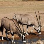 Spießböcke (oryx gazelle)