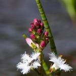 Fieberklee (Manyanthes trifoliata)