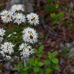 Sumpfporst (Rhododendron tomentosum)