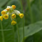 Arzneischlüsselblume (Primula veris)