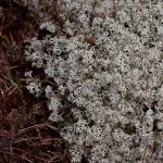 Isländisch Moos (Cetraria islandica)