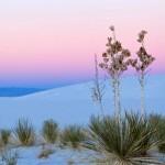 Seifen-Palmlilien (Soap Tree Yucca)