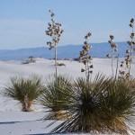 Palmlilien in den Gipsdünen (Soap Tree Yucca)