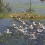 Impalas (Aepyceros melampus) im Kornfeld