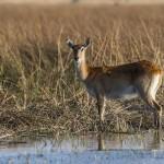 Impala (Aepyceros melampus) Weibchen