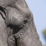 Elefant (Elephantidae) Okawango-Delta, Botswana