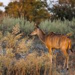 Kleiner Kudu (Ammelaphus imberbis) Weichen