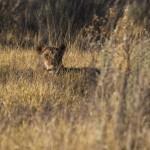 Löwenbaby (Panther leo)