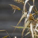 Bartmeise (Panurus biarmicus) Männchen