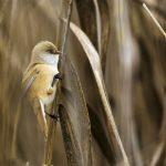 Bartmeise (Panurus biarmicus) Weibchen