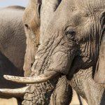 Elefanten im Chobe Nationalpark, Botswana