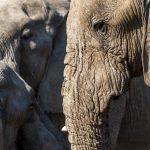 Elefant im Chobe Nationalpark, Botswana